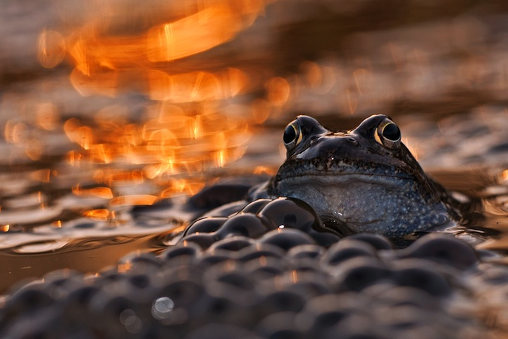 Poza zilei: Portret de broasca, fotografii de Lukasz Bozycki