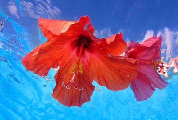 Floare de hibiscus
